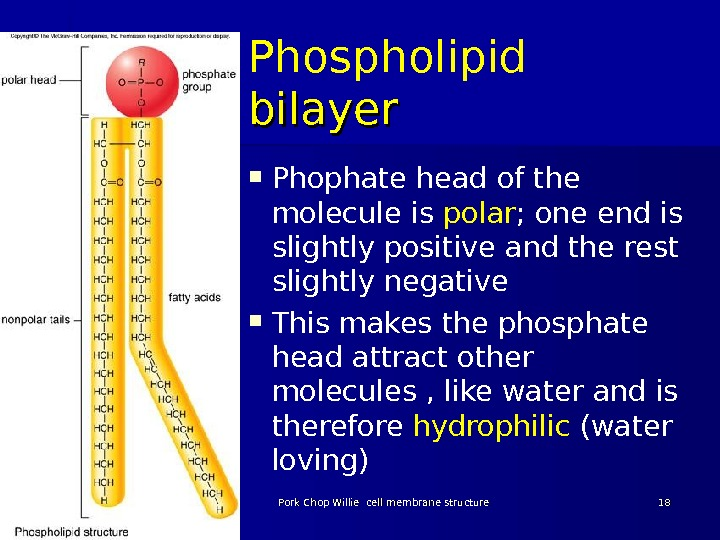Phospholipid bilayer  Phophate head of the molecule is polar ; one end is slightly positive