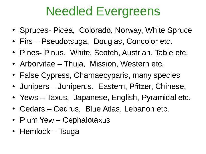 Needled Evergreens • Spruces- Picea,  Colorado, Norway, White Spruce • Firs – Pseudotsuga,  Douglas,