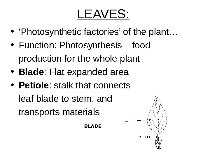 LEAVES: • ' Photosynthetic factories' of the plant… • Function: Photosynthesis – food production for the