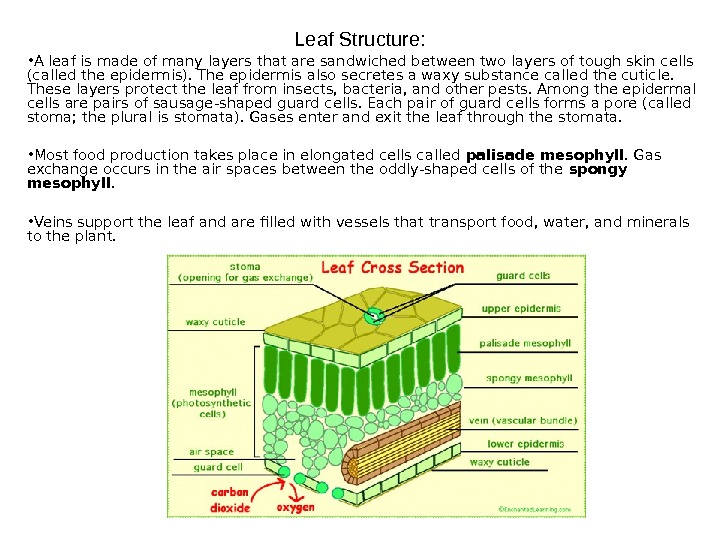 Leaf Structure:  • A leaf is made of many layers that are sandwiched between two