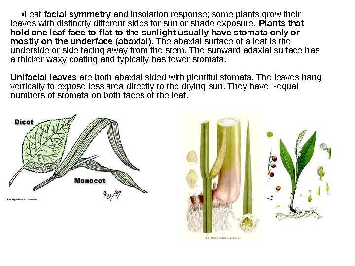 • Leaf facial symmetry and insolation response; some plants grow their leaves with distinctly different