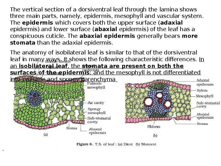 The vertical section of a dorsiventral leaf through the lamina shows three main parts, namely, epidermis,