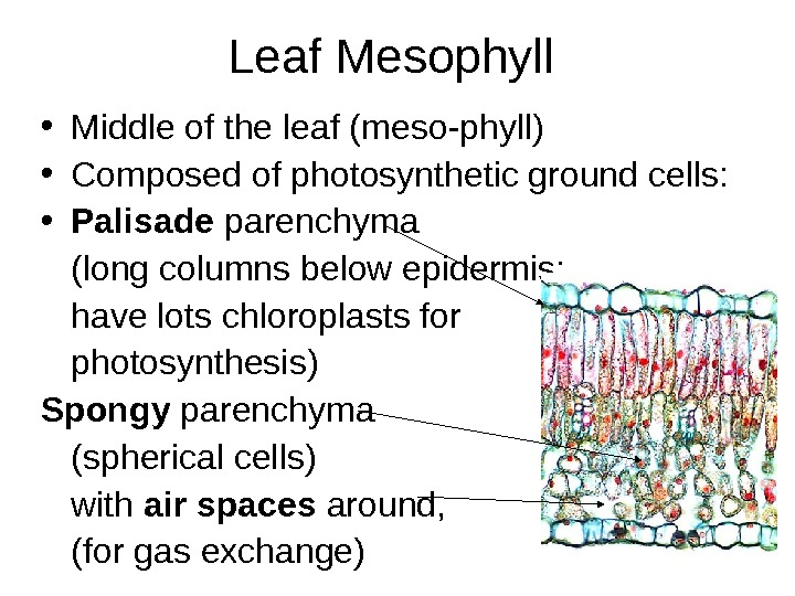 Leaf Mesophyll • Middle of the leaf (meso-phyll) • Composed of photosynthetic ground cells:  •