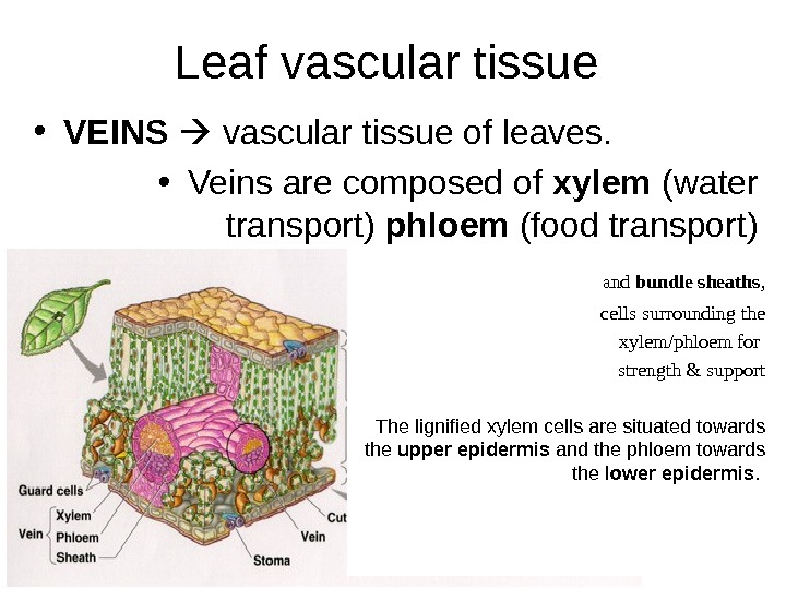 Leaf vascular tissue • VEINS vascular tissue of leaves.  • Veins are composed of xylem