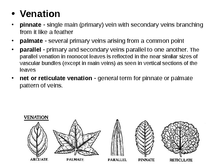 • Venation • pinnate - single main (primary) vein with secondary veins branching from it