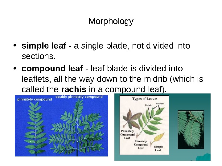 Morphology • simple leaf - a single blade, not divided into sections.  • compound leaf