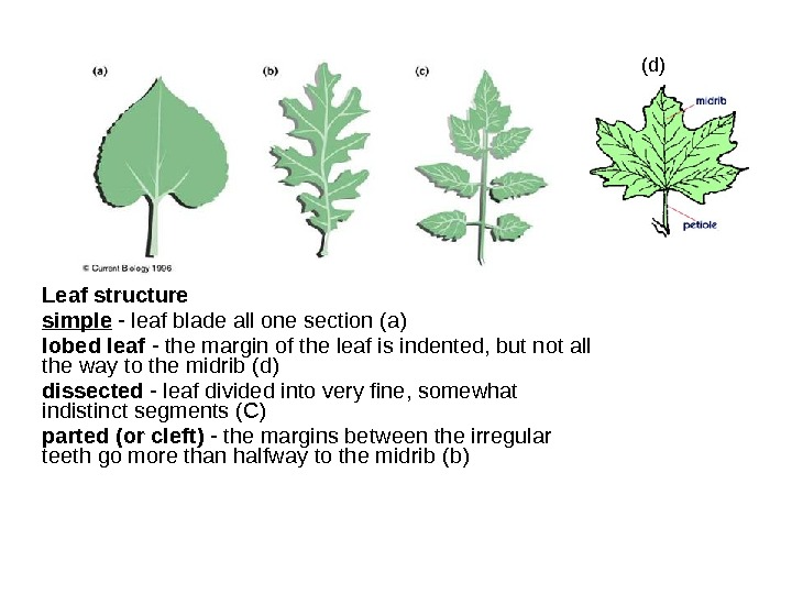 Leaf structure simple - leaf blade all one section (а) lobed leaf - the margin of