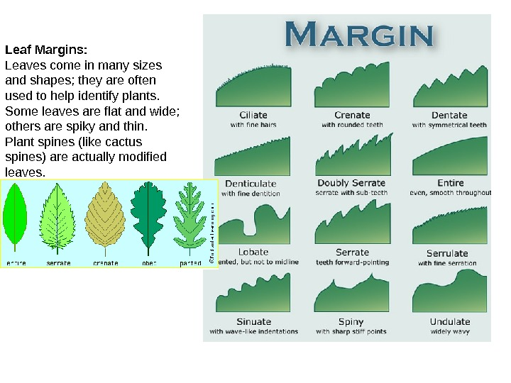 Leaf Margins: Leaves come in many sizes and shapes; they are often used to help identify