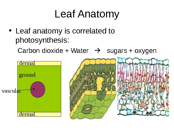 Leaf Anatomy • Leaf anatomy is correlated to photosynthesis: Carbon dioxide + Water  sugars +