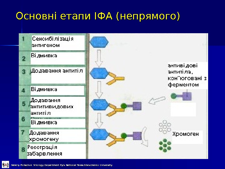 Основні етапи ІФА (непрямого) Valeriy Polischuk Virology Department Kyiv National Taras Shevchenko University