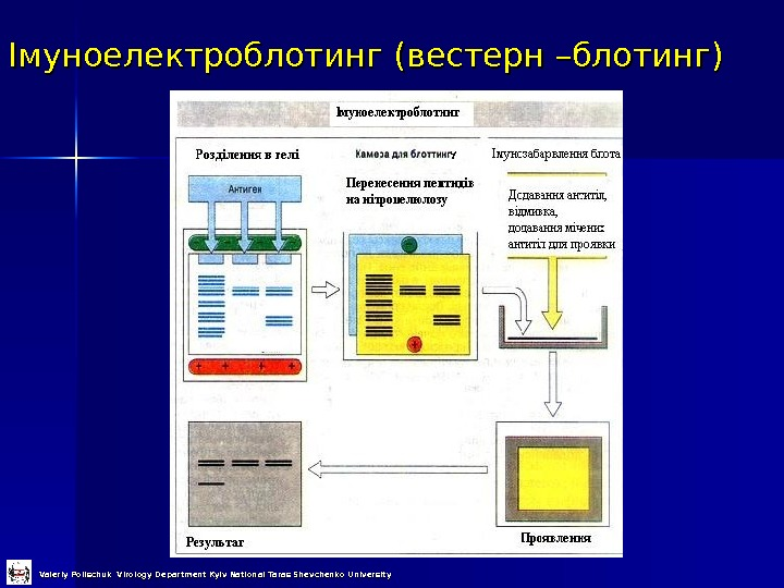 Імуноелектроблотинг (вестерн –блотинг) Valeriy Polischuk Virology Department Kyiv National Taras Shevchenko University