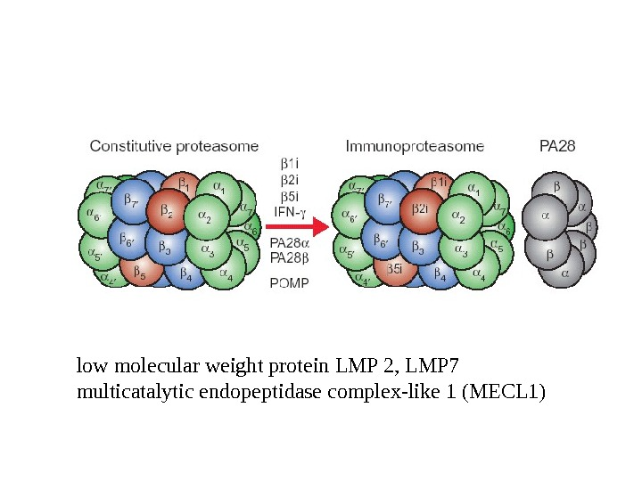 low molecular weight protein LMP 2, LMP 7 multicatalytic endopeptidase complex-like 1 (MECL 1)