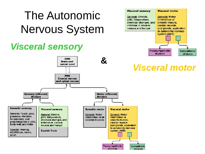 The Autonomic Nervous System Visceral sensory Visceral motor&