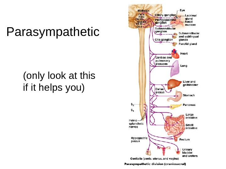 12 Parasympathetic (only look at this if it helps you)