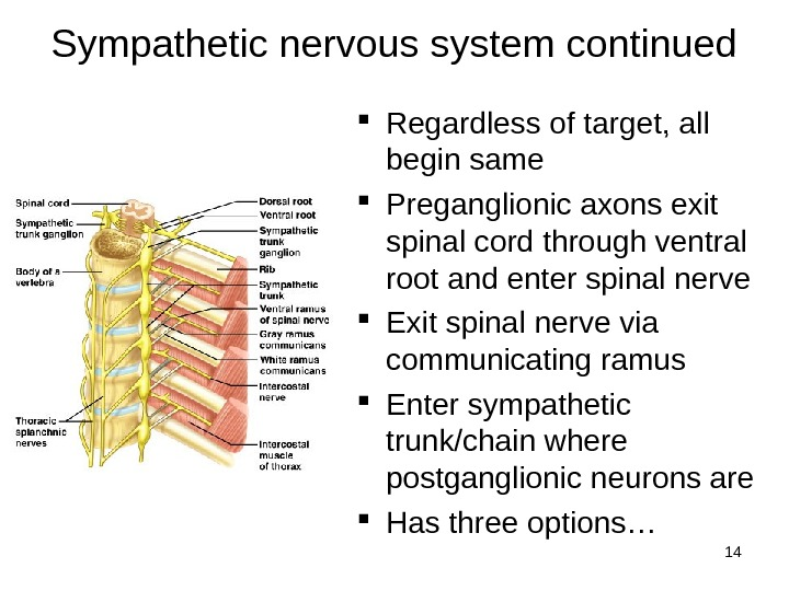 14 Sympathetic nervous system continued Regardless of target, all begin same Preganglionic axons exit spinal cord