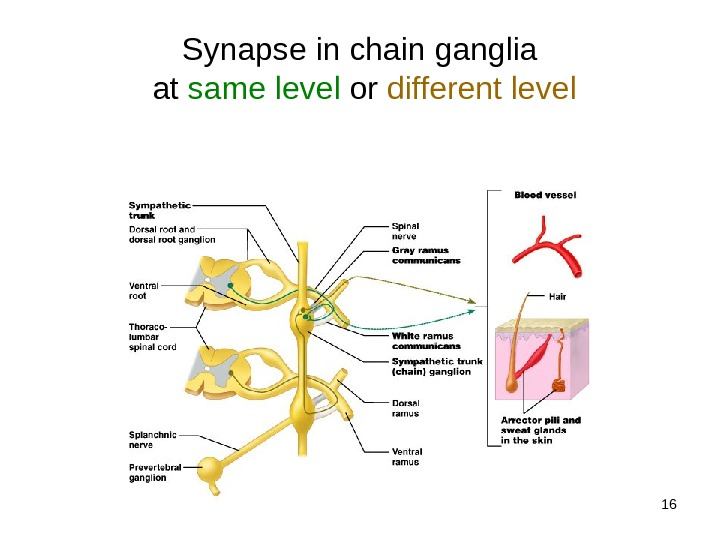 16 Synapse in chain ganglia at same level or different level