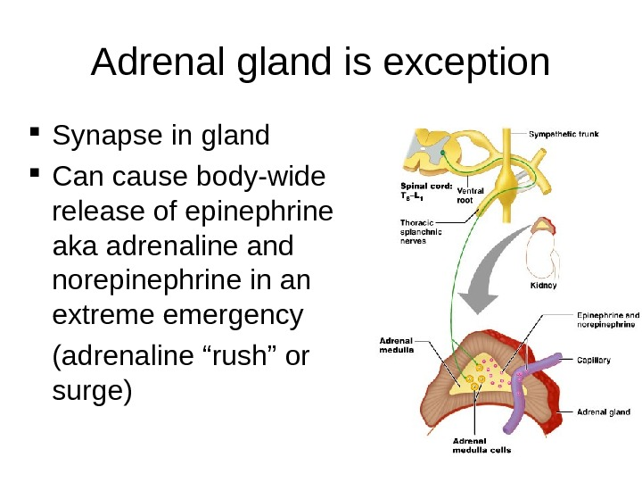 20 Adrenal gland is exception Synapse in gland Can cause body-wide release of epinephrine aka adrenaline