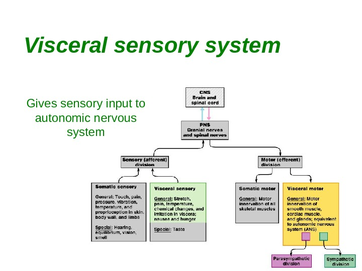 22 Visceral sensory system Gives sensory input to autonomic nervous system
