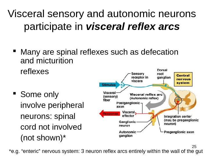 25 Visceral sensory and autonomic neurons participate in visceral reflex arcs Many are spinal reflexes such