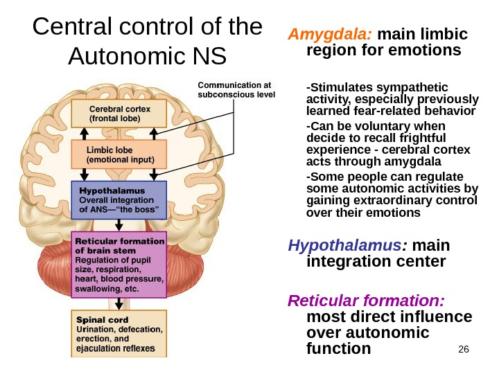 26 Central control of the Autonomic NS Amygdala:  main limbic region for emotions -Stimulates sympathetic