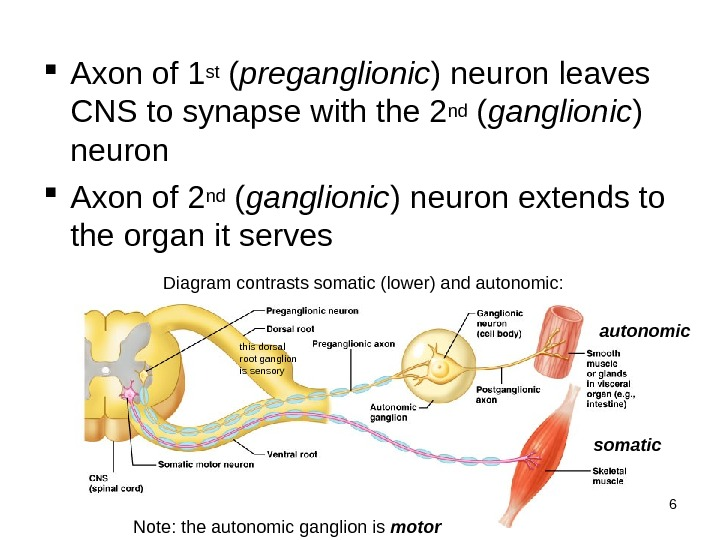 6 Axon of 1 st ( preganglionic ) neuron leaves CNS to synapse with the 2