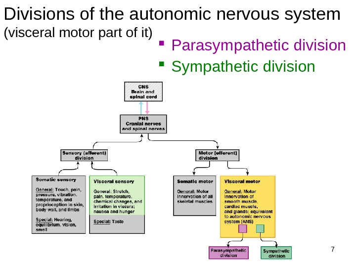 7 Divisions of the autonomic nervous system (visceral motor part of it) Parasympathetic division Sympathetic division
