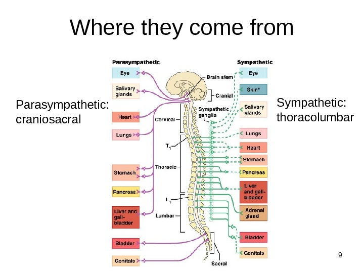 9 Where they come from Parasympathetic: craniosacral Sympathetic: thoracolumbar