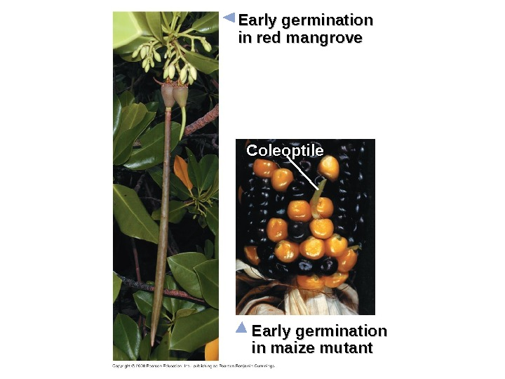Early germination in red mangrove Early germination in maize mutant. Coleoptile