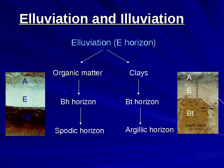 Elluviation (E horizon) Organic matter Clays Spodic horizon Bh horizon Bt horizon Argillic horizon.