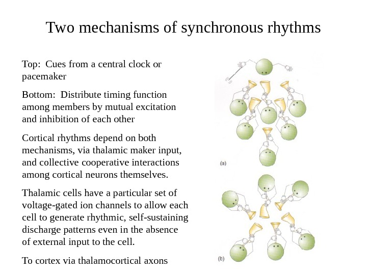 Two mechanisms of synchronous rhythms Top:  Cues from a central clock or pacemaker