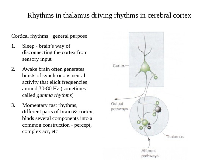 Rhythms in thalamus driving rhythms in cerebral cortex Cortical rhythms:  general purpose 1.