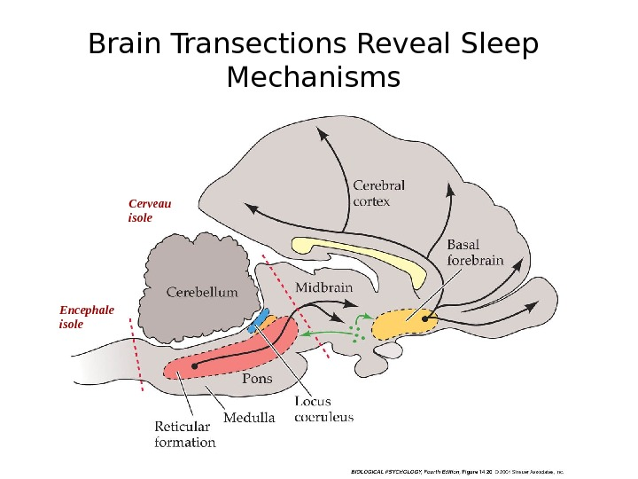 Brain Transections Reveal Sleep Mechanisms Encephale isole Cerveau isole