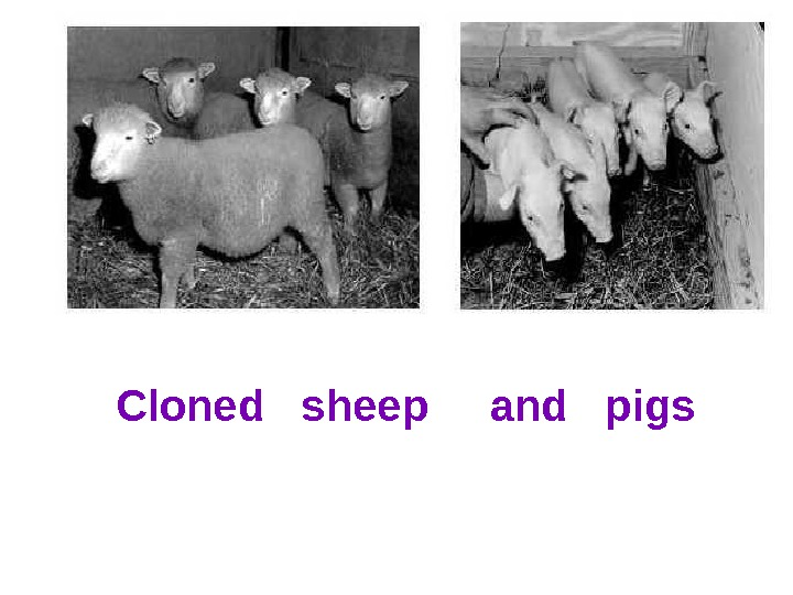 Cloned  sheep and  pigs