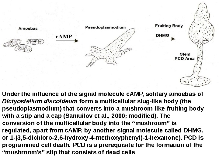 Under the influence of the signal molecule c. AMP, solitary amoebas of Dictyostelium discoideum form a