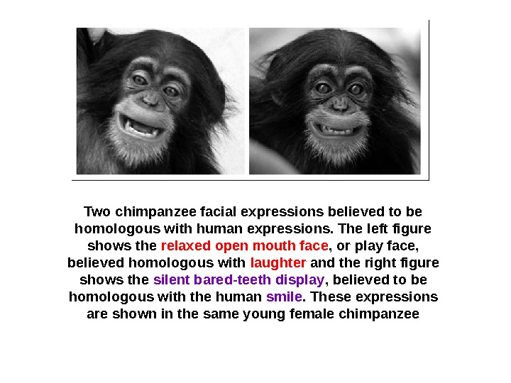 Two chimpanzee facial expressions believed to be homologous with human expressions. The left figure shows the