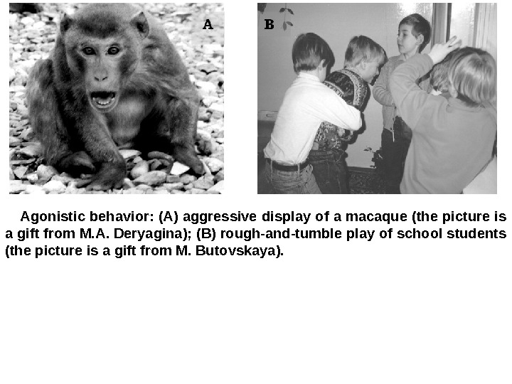 Agonistic behavior: (A) aggressive display of a macaque (the picture is a gift from M. A.