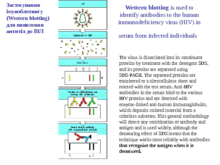 Western blotting is used to identify antibodies to the human immunodeficiency virus (HIV) in