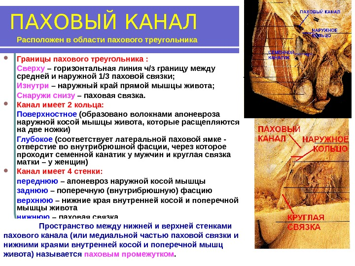 лекция 4 топографическая анатомия передней брюшной стенки