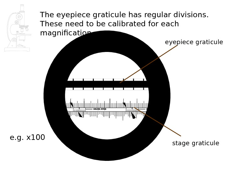 The eyepiece graticule has regular divisions.  These need to be calibrated for each magnification stage