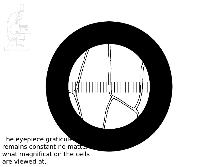 The eyepiece graticule remains constant no matter what magnification the cells are viewed at.
