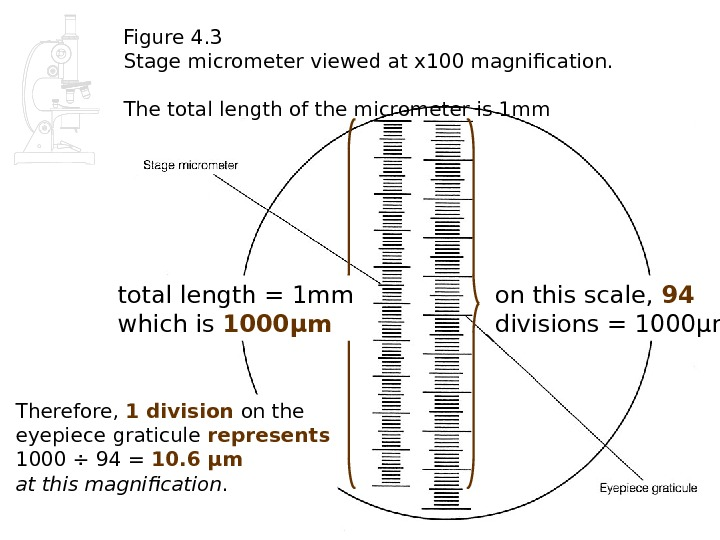 Figure 4. 3 Stage micrometer viewed at x 100 magnification. The total length of the micrometer