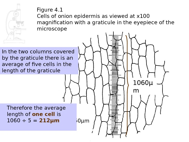 Figure 4. 1 Cells of onion epidermis as viewed at x 100 magnification with a graticule