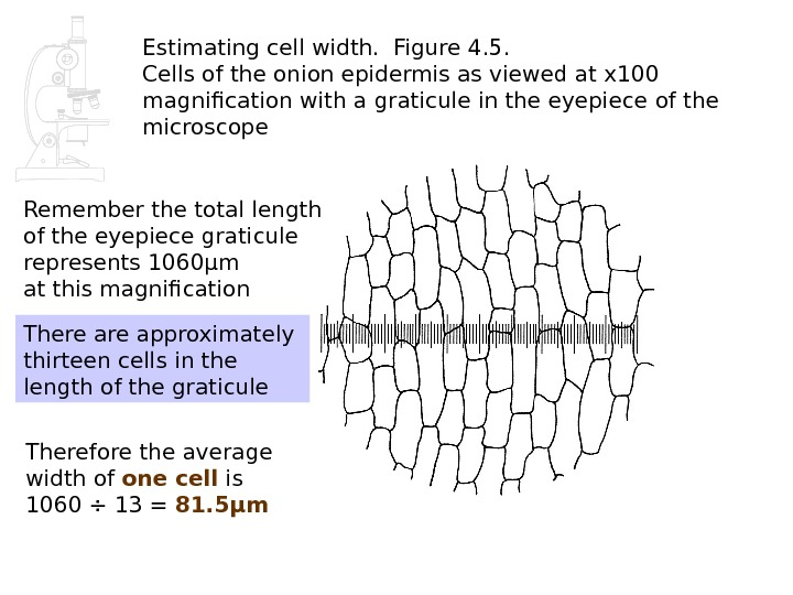 Estimating cell width.  Figure 4. 5.  Cells of the onion epidermis as viewed at