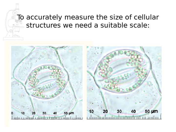 To accurately measure the size of cellular structures we need a suitable scale: