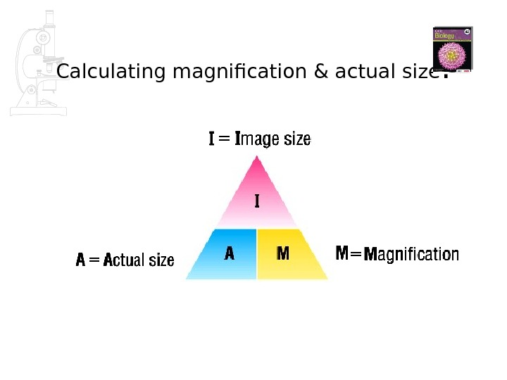 Calculating magnification & actual size :