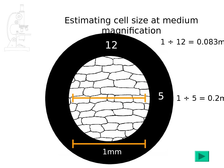 Estimating cell size at medium magnification 1 mm 5 1 ÷ 5 = 0. 2 mm
