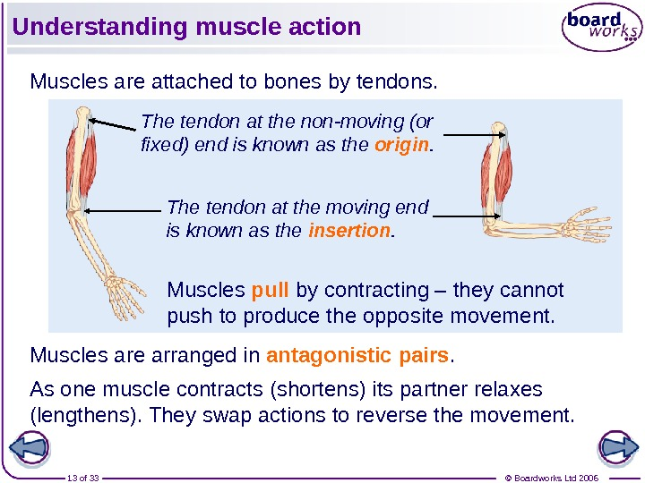 © Boardworks Ltd 200613 of 33 Understanding muscle action Muscles are attached to bones by tendons.