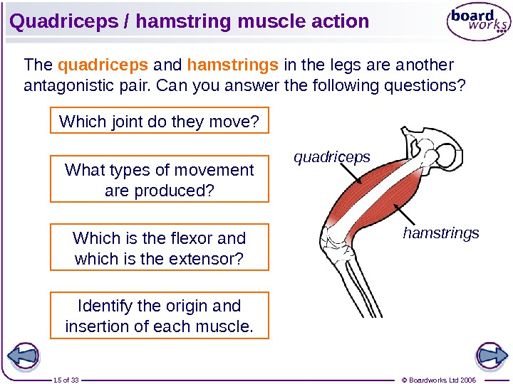 © Boardworks Ltd 200615 of 33 Quadriceps / hamstring muscle action The quadriceps and hamstrings in