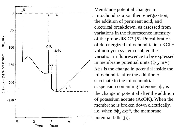 Membrane potential changes in mitochondria upon their energization,  the addition of permeant acid, and electrical