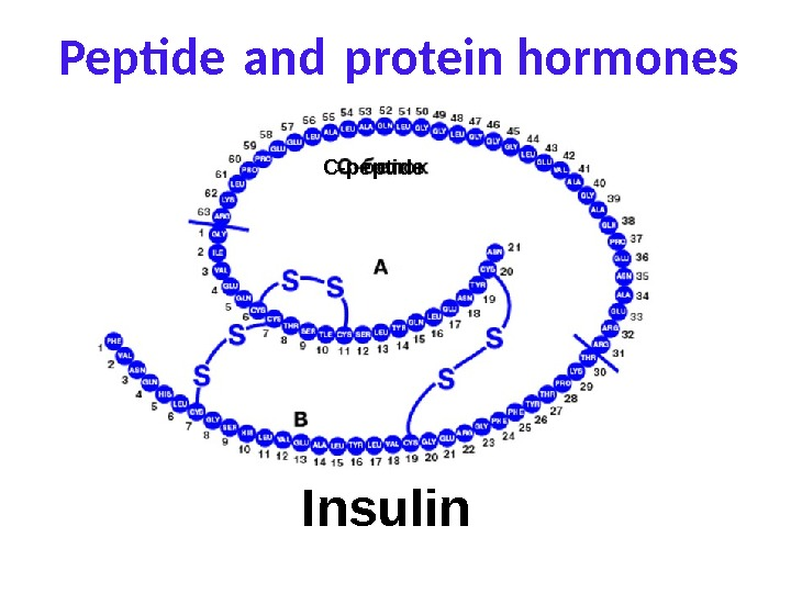 Peptide and protein hormones Insulin C-peptide